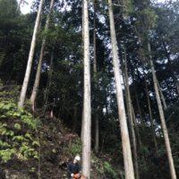 背の高い木を伐採